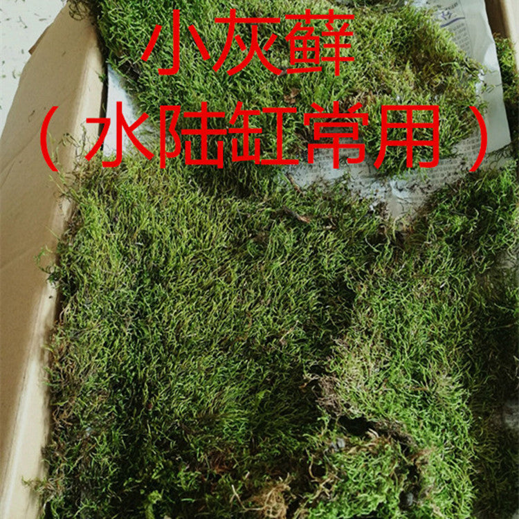 Ecological bottle moss white hair 朵 blossoming fresh garden plant wall landscaping micro landscape plant moss wholesale