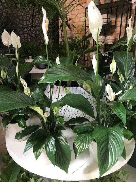 Spathiphyllum - 'peace lily'