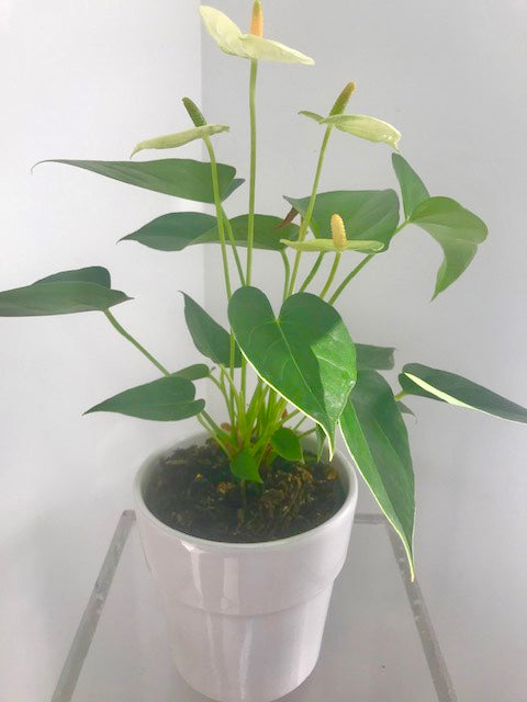 Anthurium - 'white'