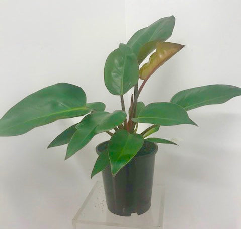 Philodendron - 'congo'