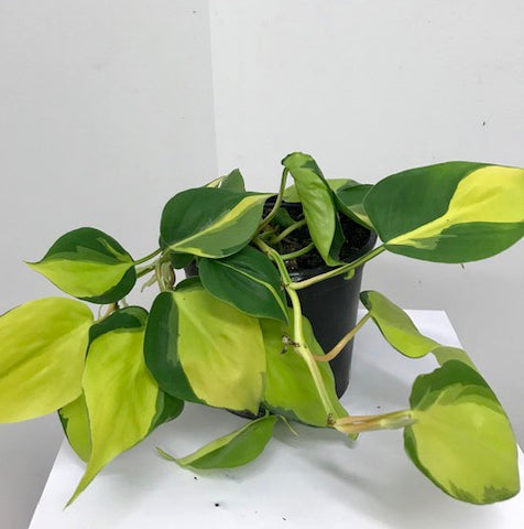 Philodendron - 'brazil'
