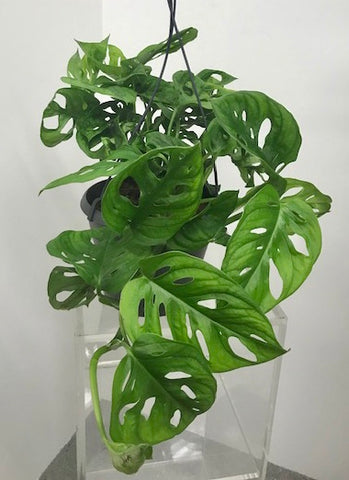 Monstera - 'Monkey Mask'