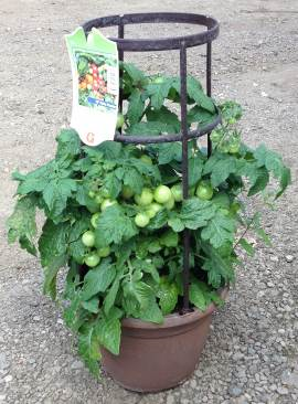 "10"" Patio Pot Tomato - Little Bing  New! w/ support cage"