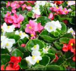 Begonia Fibrous Mix - Part Sun/Shade