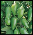 Jalapeno Pepper - Sun
