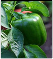 Green Bell Pepper - Sun