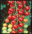 Supersweet 100 Cherry Tomato - Sun