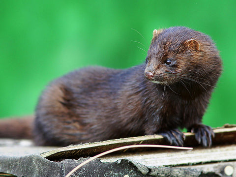 where mink eyelash extensions come from
