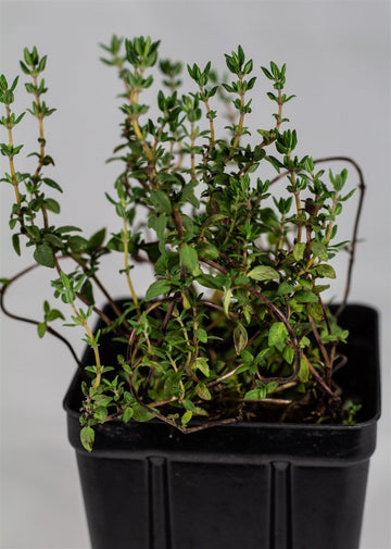 English Thyme Plant - Ridgedale Orchard & Vineyard