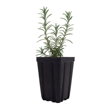 Rosemary 'Gorizia' - Ridgedale Orchard & Vineyard