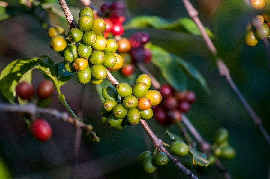 coffee cherries on the branch