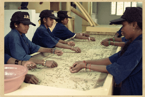 Coffee mill workers hand sort green coffee beans for optimal quality