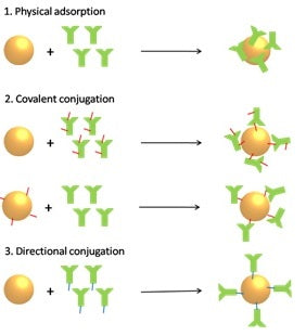 How to conjugate antibodies to gold nanoparticles - Methods