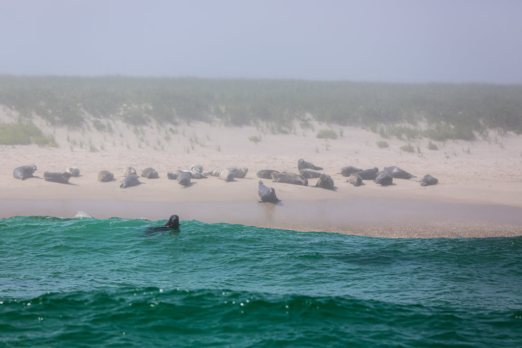 Seals on the beach at Monomoy Island off Cape Cod