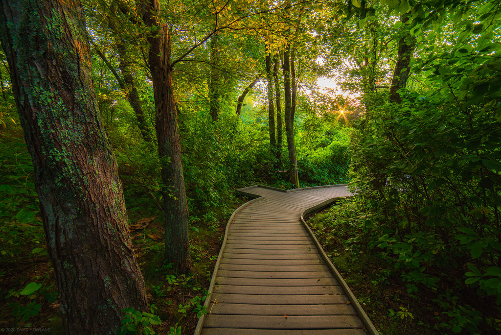 The Red Maple Swamp trail boardwalk curves through the woods at sunset in the Cape Cod National Seashore.