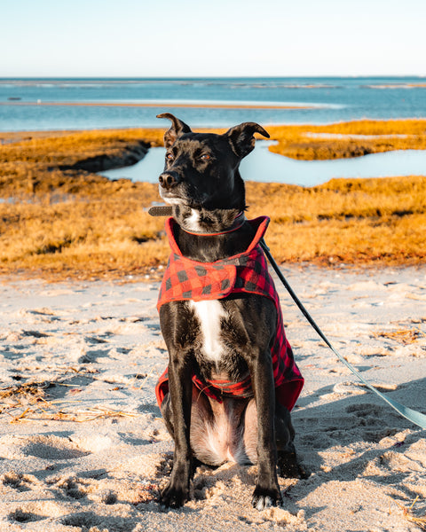A black dog wearing a red looking very serious at the beach.
