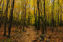 Load image into Gallery viewer, Acadia Aspens Path - Acadia National Park