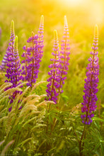 Load image into Gallery viewer, Lupines at Sunset - Cape Cod National Seashore, MA