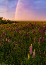 Load image into Gallery viewer, Rainbow Sunset Lupines II - Cape Cod National Seashore, MA