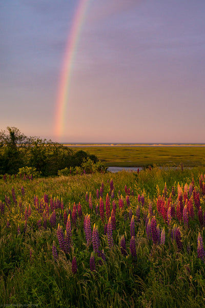 Rainbow Sunset Lupines II - Cape Cod National Seashore, MA