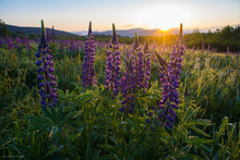 Load image into Gallery viewer, New Hampshire Lupine Sunrise over the White Mountains Greeting Card