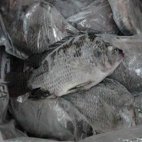 Case Of Frozen Tilapia Fish - 40 Lbs Whole