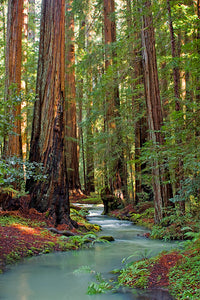 """Montgomery Woods and Creek"""