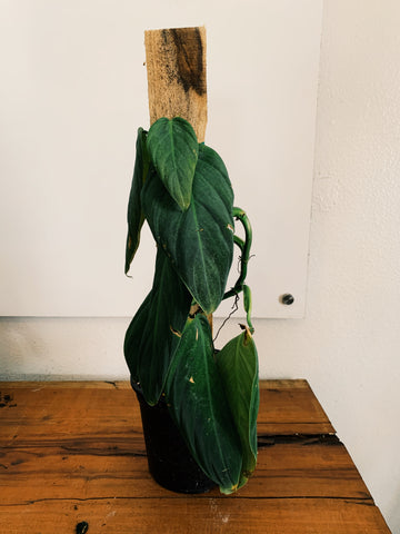 *RARE* Philodendron Gigas