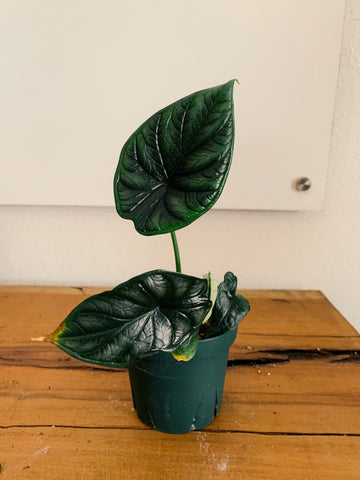 *RARE* Alocasia Dragon Scale