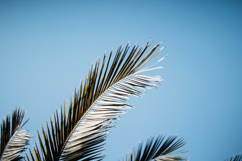 Palm Branches for Palm Sunday