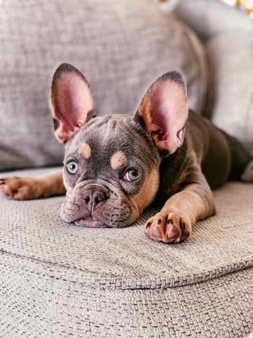 Wild For Dogs Organic Natural Vegan Best Dog Shampoo Best Products For Sensitice Frenchie French Bulldog