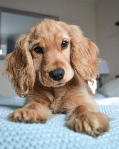Wild For Dogs Organic Natural Vegan Best Dog Shampoo Best Product for Cocker Spaniel