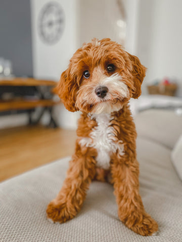 Wild For Dogs Organic Natural Vegan Best Dog Shampoo Best For Cavapoo