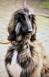 Portia Afghan Hound Wild For Dogs Luxury Organic Dog Grooming Products Eco Friendly