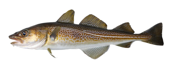 Cod Fillets - Atlantic, IQF, Skinless, Boneless