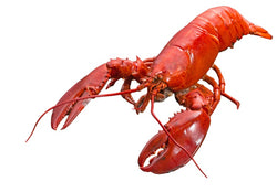 Lobster - Whole, Cooked, Canada
