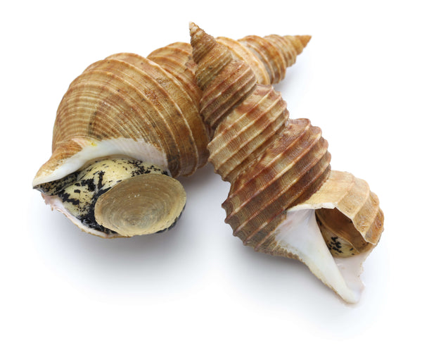 Whelk - In Shell Cooked (Canada)