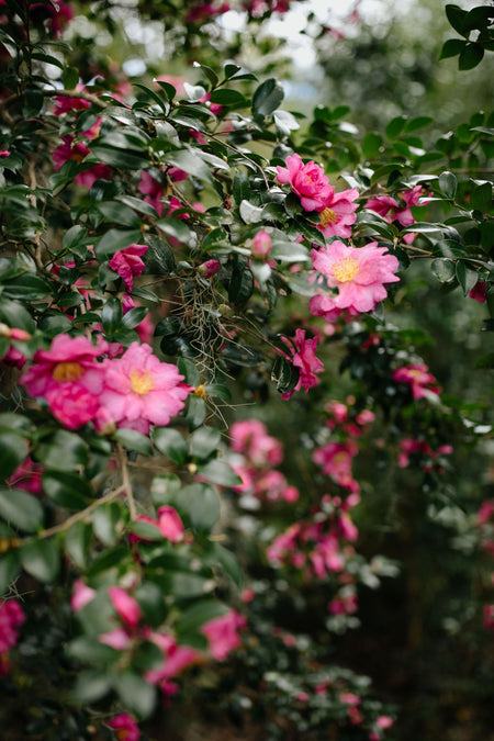 Camellias, One