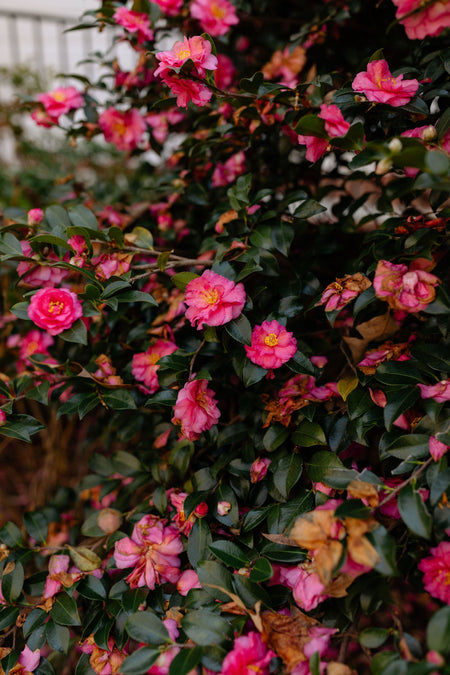 Camellias, Three
