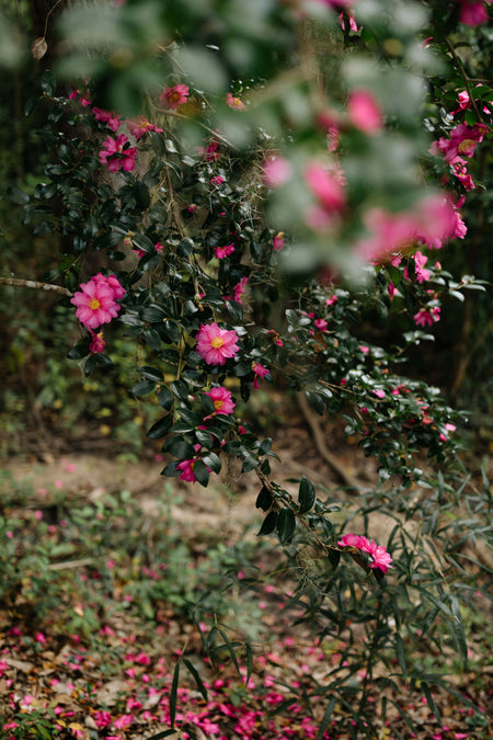 Camellias, Two