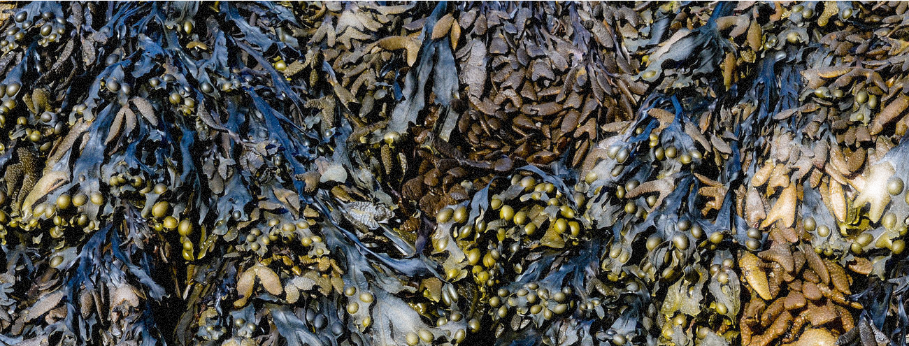 Seaweed For The Skin