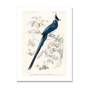vintage bird print of black throated magpie-jay