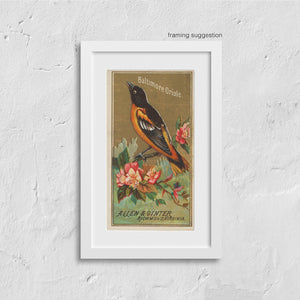 giclee baltimore oriole vintage bird print in frame