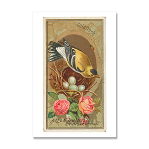 giclee print of vintage goldfinch bird illustration
