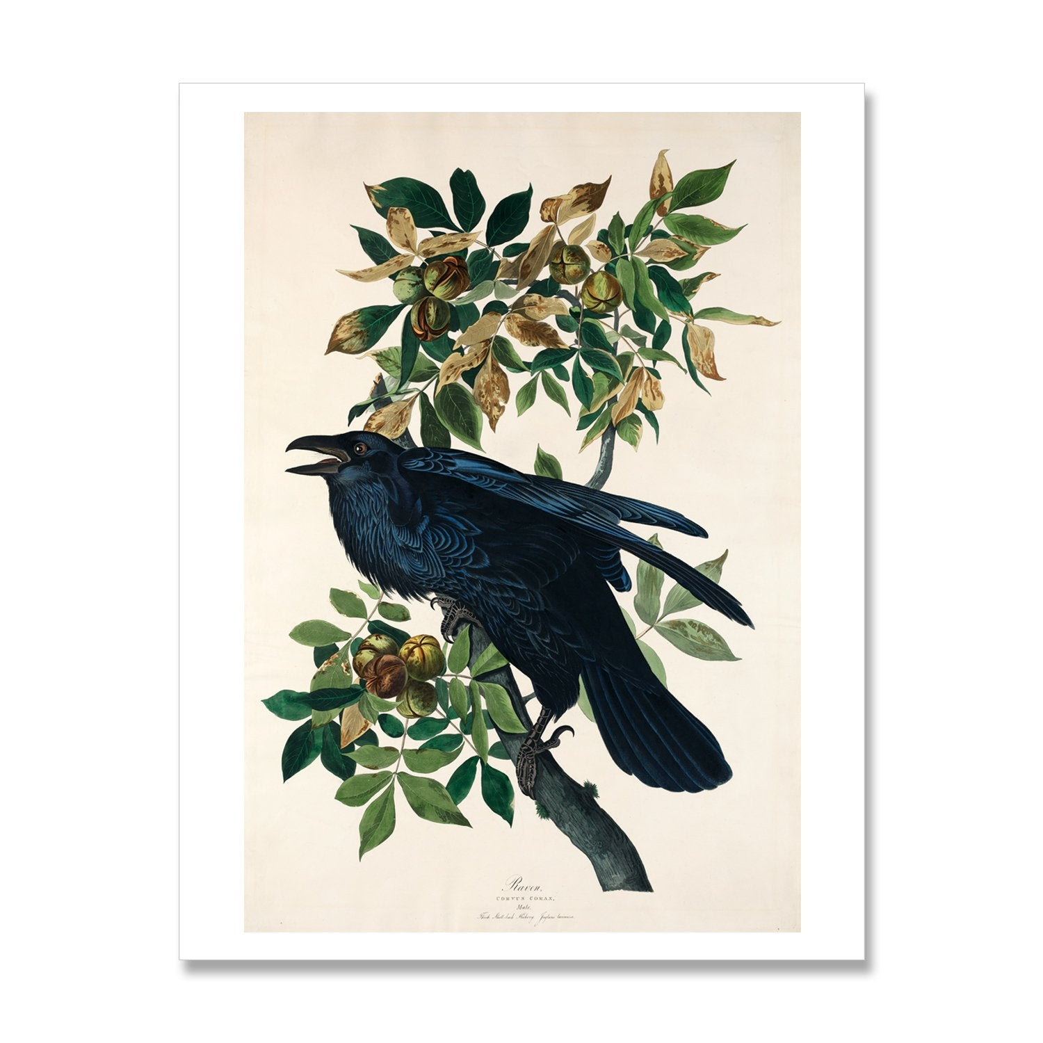 print of raven bird painting by audubon