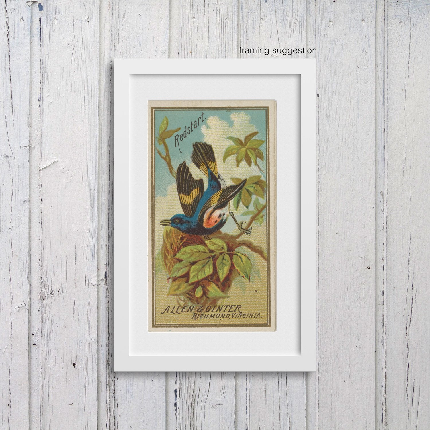 framed giclee print of redstart bird, vintage cigarette card design