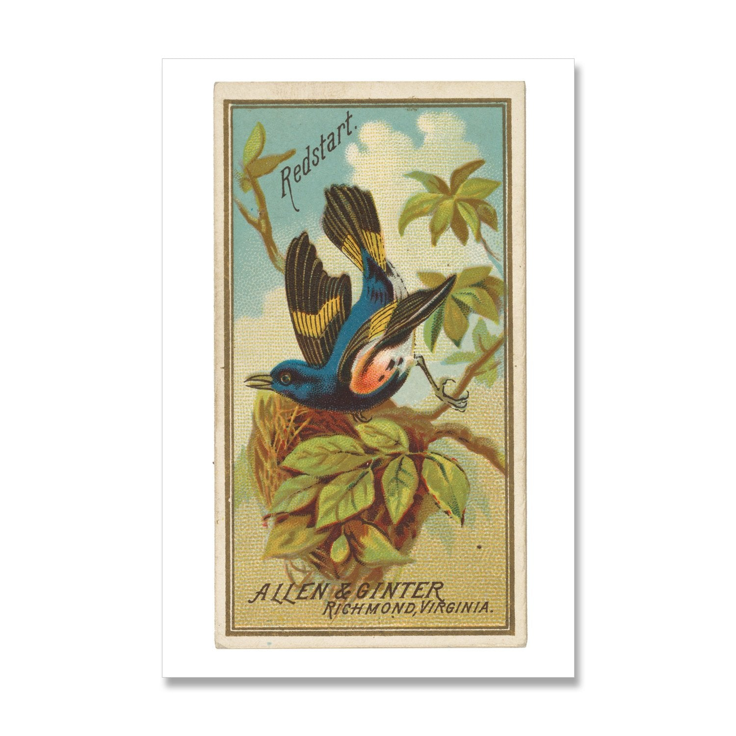 giclee print of redstart bird, vintage cigarette card design