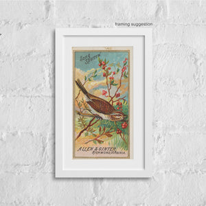 framed vintage bird print of song sparrow