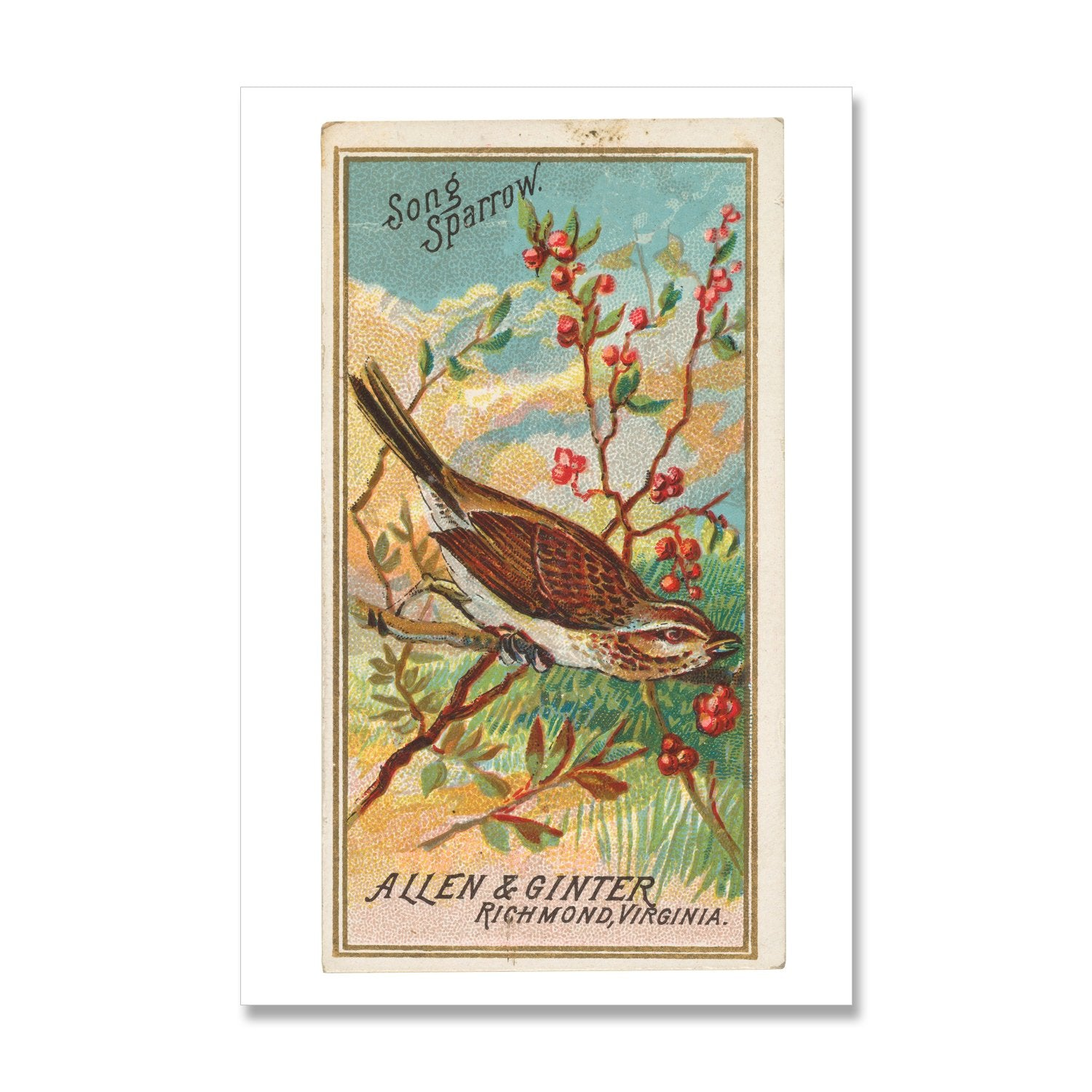 vintage bird print of song sparrow