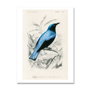 vintage bird print of the square tailed drongo